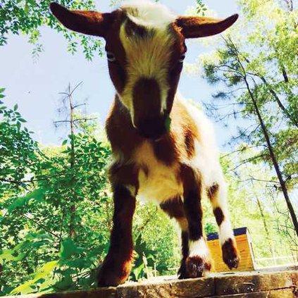 Goat 1 WEB
