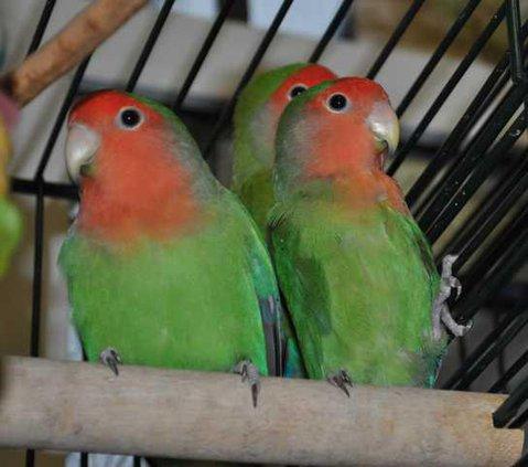 Pet of the week - birds.JPG