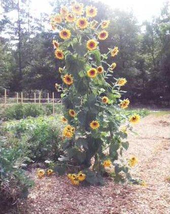 Wil-mooreFarmsSunflower