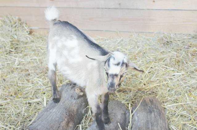 Goat Web
