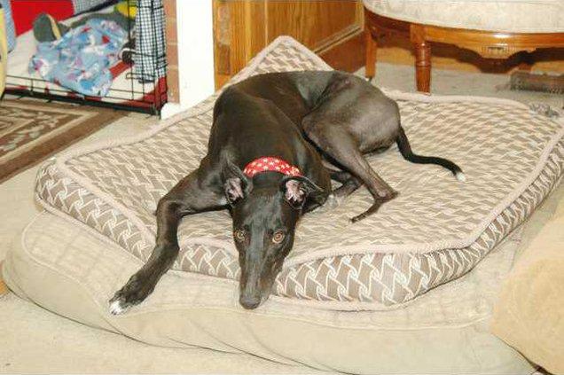 Robert-greyhound4