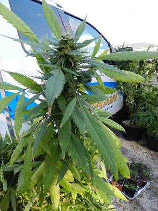 KCSO - Marijuana Web