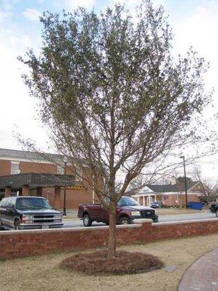 Town Green Tree 2