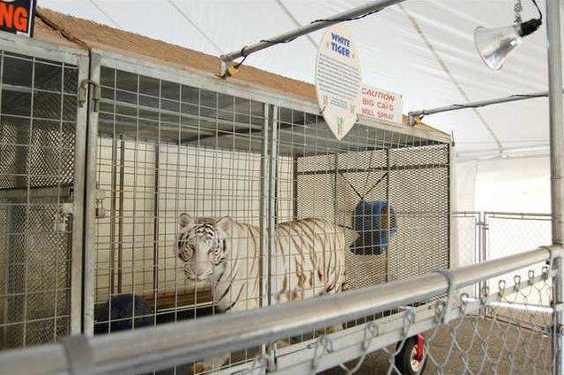 Jungle Safari - White Tiger