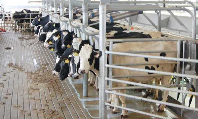 Prison Cows