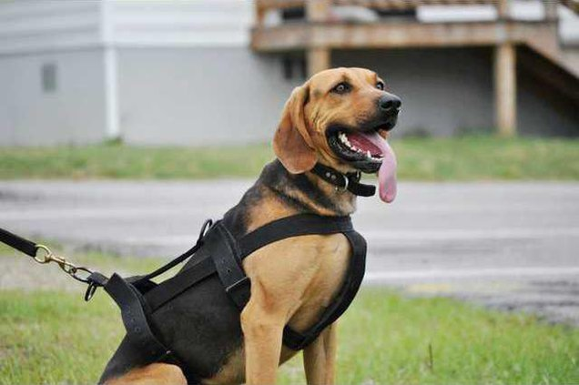 KCSO Bloodhound