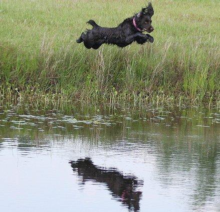 Flying Spaniel